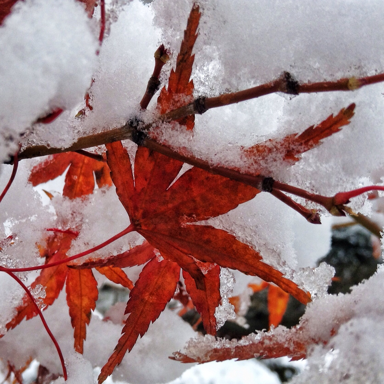 紅葉に雪。