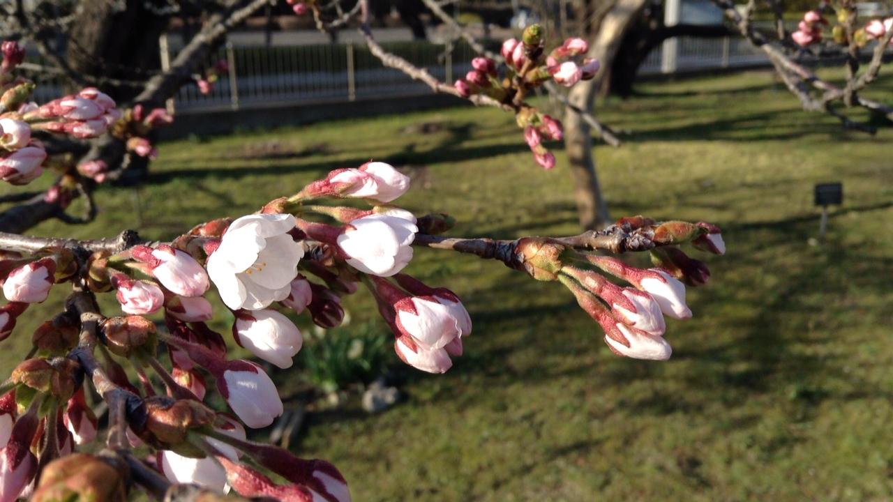 仙台の桜。