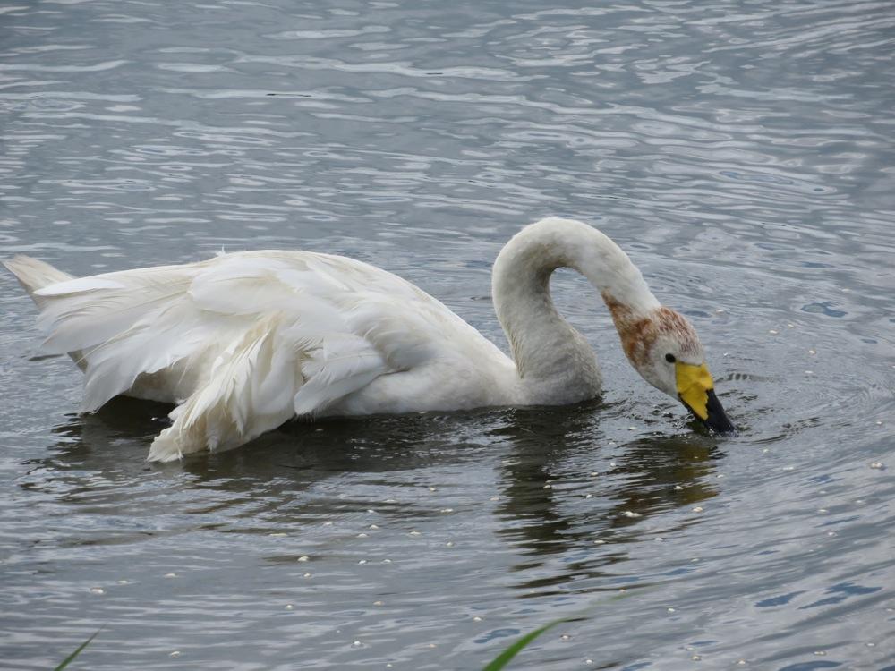 Swan01