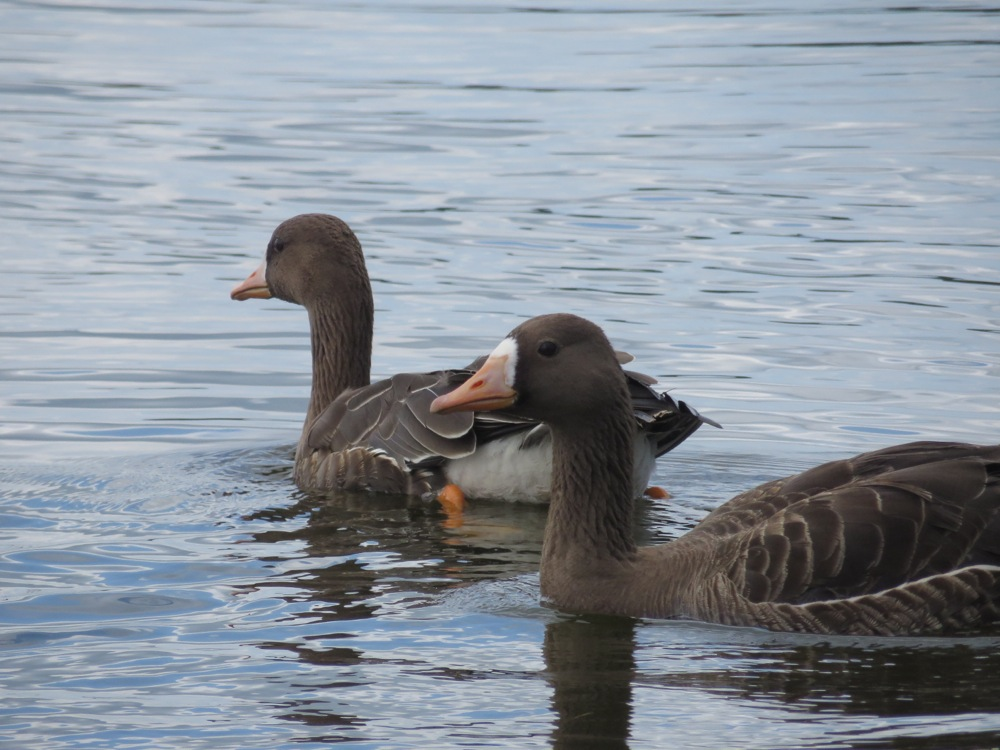Swan02