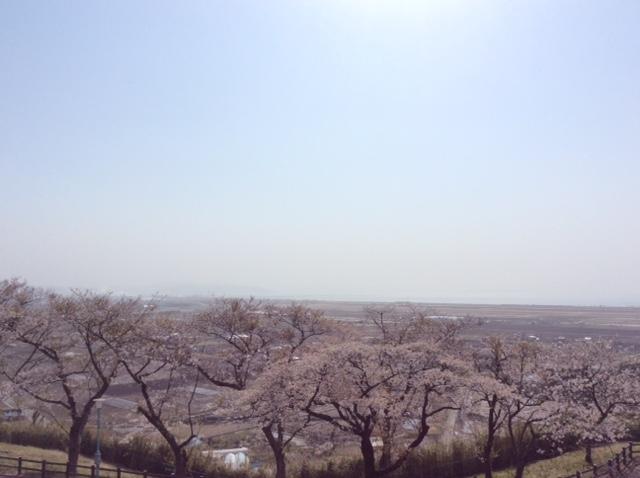 高台の桜。