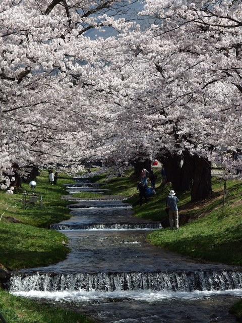 観音寺川の桜。
