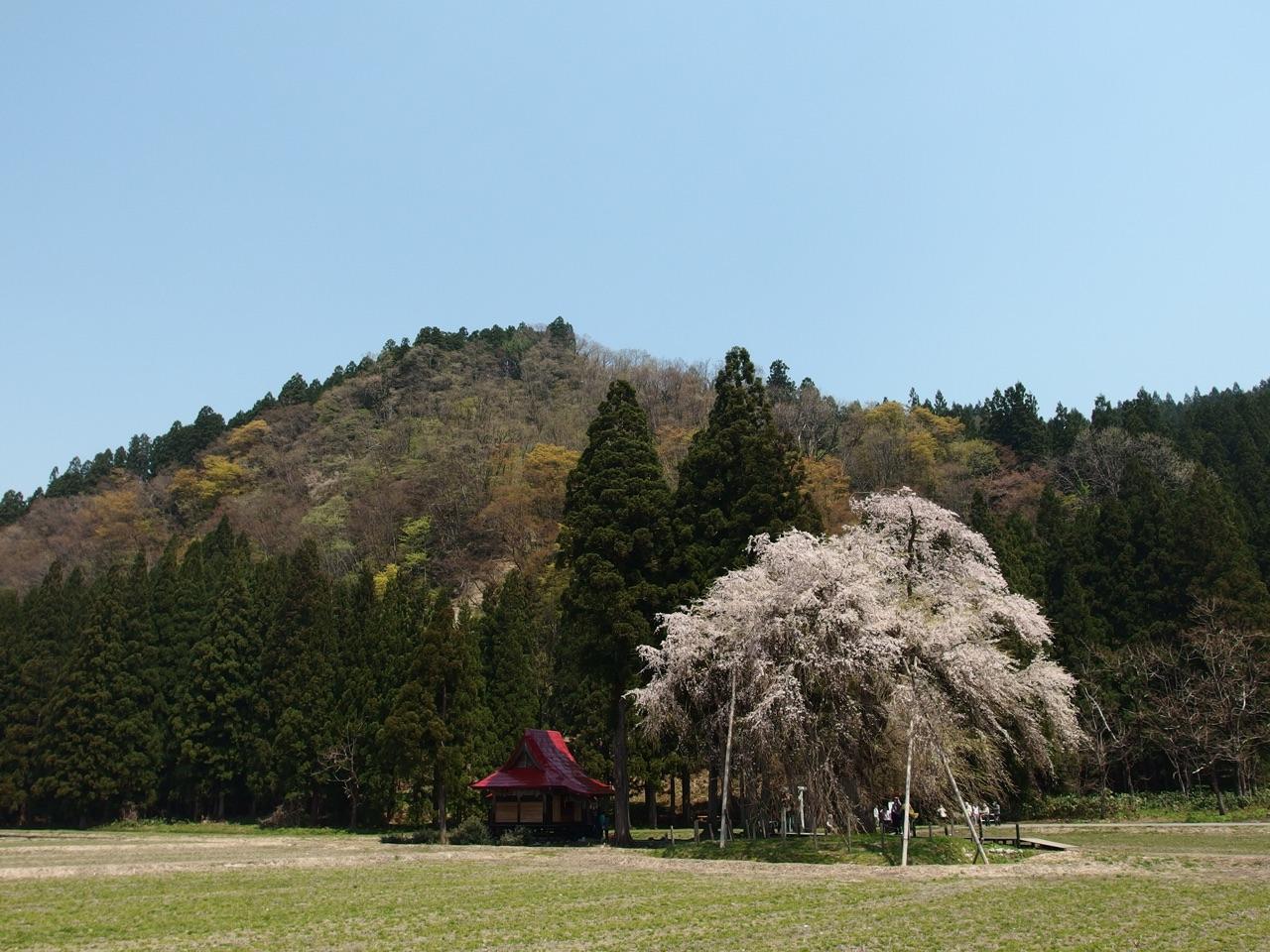 おしら様のしだれ桜。